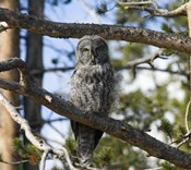 Gray Owl Green Eyes