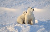 Mother Polar Bear and Cub I