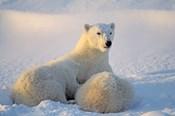 Mother Polar Bear and Cub II