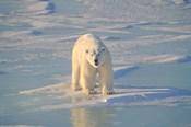 Polar Bear Afloat