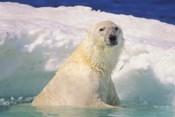 Polar Bear in the Water