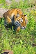 Tiger Crouching
