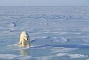 Polar Bear Across the Ice