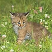 Wild Cat Cub