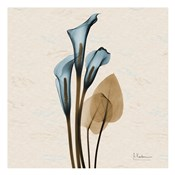 Calla Lily Blue Brown H36