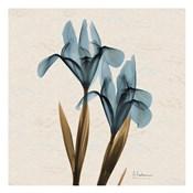 Iris Blue Brown B18