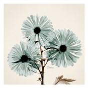 Chrysanthemum Sky