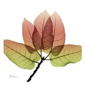 FicusBurkey Fall