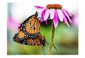 2 Butteflies Hanging