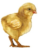 Chick Yellow Wood