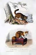 Wild Cat and Angora Cat