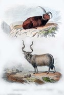 Pair of Rams