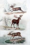 Stag, Elk and Deer