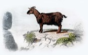 Goat I