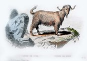 Goat II