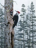 Piliated Woodpeckers