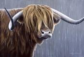 Highland Bull Rainy Day