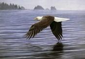 Low Flight Bald Eagle