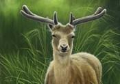 Fallow Buck In Velvet