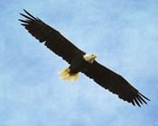 By His Grace Bald Eagle