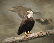 Dreaming Of Freedom Bald Eagles