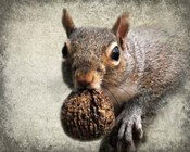 Gray Squirrel With Nut