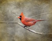 His Red Glory Cardinal