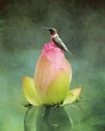 Hummingbird And The Lotus Flower