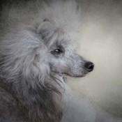 Longing Silver Standard Poodle