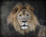 Male Lion Portrait 1