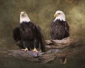 Mates Bald Eagle Pair