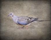 Mourning Dove Portrait