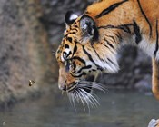 Risk Taker Bengal Tiger And Butterfly