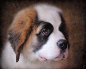 Saint Bernard Puppy Portrait