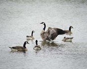 Show Off Canadian Geese