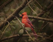 Song Of The Red Bird 1