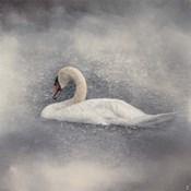 Swan Storm