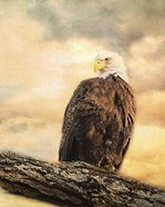 The Queen At Rest Bald Eagle