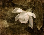 Cape Jasmine Gardenia 2