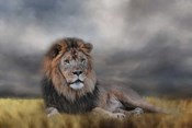 Lion Waiting For The Storm