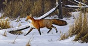 Fox Trot  - Red Fox