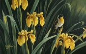 Yellow Flags & Yellowthroat