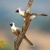 Bare-Faced Go-Away-Birds Tarangire National Park, Tanzania