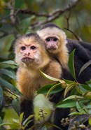 White-Throated Capuchin Monkeys (Cebus capucinus) on tree, Tortuguero, Costa Rica