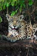 Jaguar, Pantanal Wetlands, Brazil