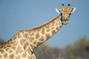 Southern Giraffe, Etosha National Park, Namibia
