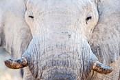 African Elephant, Etosha National Park, Namibia