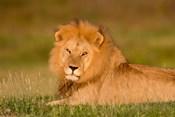 African Lion, Ndutu, Ngorongoro Conservation Area, Tanzania