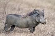 Warthog,Tarangire National Park, Tanzania
