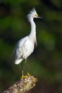 Snowy Egret, Tortuguero, Costa Rica